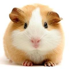 Аллергия на морских свинок: симптомы и лечение