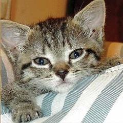 Бронхиальная астма у кошек: симптомы и лечение