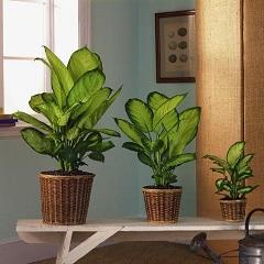 Комнатные растения, вызывающие аллергию