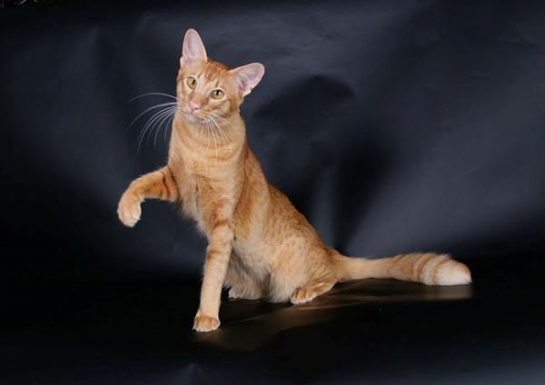 породы кошек не вызывающие аллергию