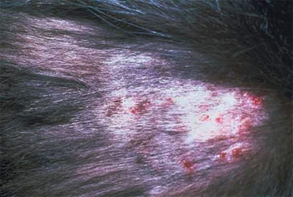 милиарный дерматит у кошек