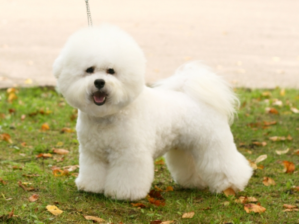 породы собак для астматиков